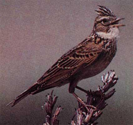 Птица жаворонок - небольшая, тускло-серая, неприметная.  В России обитает 15 видов этих птиц.