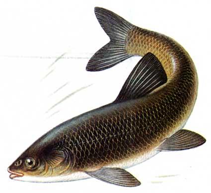 ...щука на силикон видео - саянская форель, рыба белый амур фото.