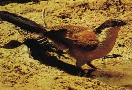 Питается индийский кукаль крупными насекомыми (осами, жуками,гусеницами, прямокрылыми), мелкими ящерицами и змеями