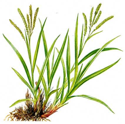 Трава высокая, до 1,5 метров. Имеет очень острые длинные
