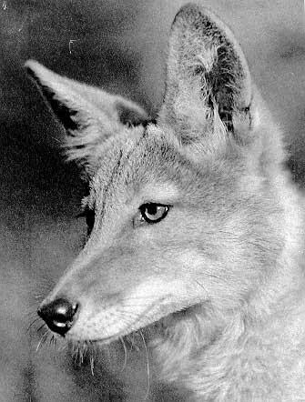 Род canis linnaeus 1758 волки собаки