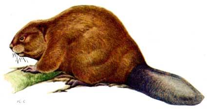 Подвид castor fiber tuvinicus lavrov 1969 бобр