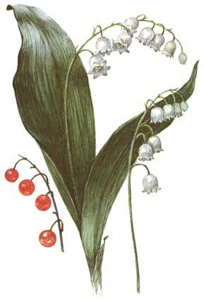 ЛАНДЫШ МАЙСКИЙ 1991 Никиточкина Т.Д., Шипиленко А.К. - Лекарственные растения леса.
