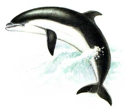 Черноморская афалина, дельфинарий: хлорированная