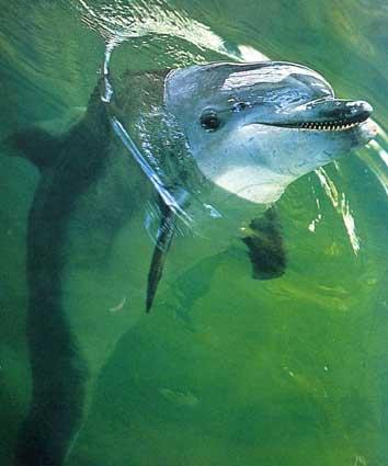 Дельфин, афалина - черноморская