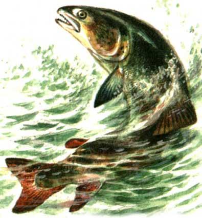 ...встречается в реках европейской части и на Полярном и Среднем Урале, в Сибири, а также в бассейне Амура.