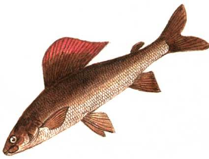 Животные.  Рыбы и круглоротые. либо латинскую.