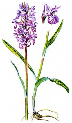 Архив БВИ: Систематика: Dactylorhiza