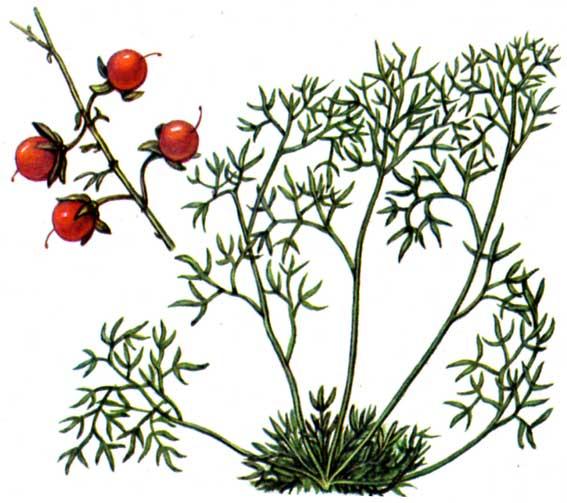 Вид malacocarpus crithmifolius retzius c a meyer