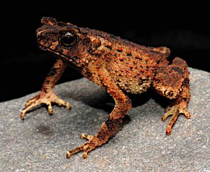 Бои на когтях самцов колюче-лапчатых лягушек.